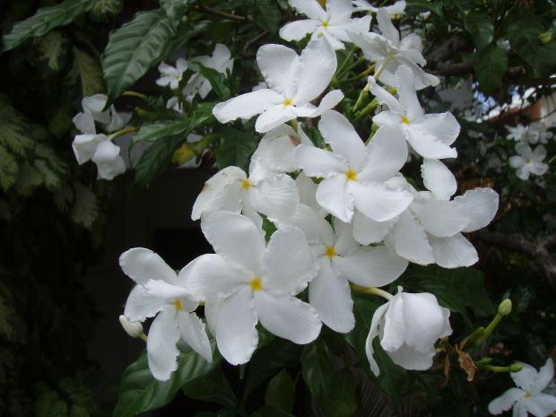 Photograph: jasmine flowers